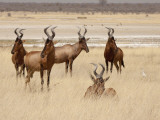 Red Hartebeest, Etosha National Park, Namibia, Africa Photographic Print by Wendy Kaveney