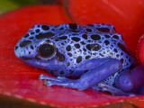 Poison Dart Frog on Red Leaf, Republic of Surinam Fotografie-Druck von Jim Zuckerman