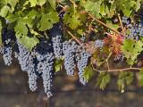 Close Up of Cabernet Sauvignon Grapes, Haras De Pirque Winery, Pirque, Maipo Valley, Chile Photographic Print by Janis Miglavs