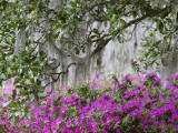 Azaleas and Live Oak Trees Draped in Spanish Moss, Middleton Place Plantation, South Carolina, USA Photographic Print by Adam Jones