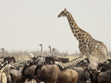 A Lone Giraffe Stands Tall at a Waterhole, Etosha National Park, Namibia, Africa Impressão fotográfica por Wendy Kaveney