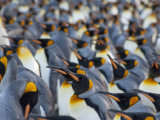 King Penguin Colony, Gold Harbor, South Georgia Island Photographic Print by Cindy Miller Hopkins