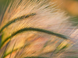Foxtail Barley Backilt Near East Glacier, Montana, USA Photographie par Chuck Haney