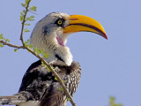 Profile of Yellow-Billed Hornbill Bird, Kenya Photographic Print by Joanne Williams