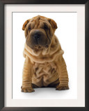Brown Shar Pei Posters