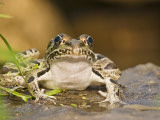 Leopard Frog Sunning By Pond, Central Texas, USA Lmina fotogrfica por Larry Ditto