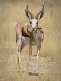 Front View of Standing Springbok, Etosha National Park, Namibia, Africa Photographic Print by Wendy Kaveney