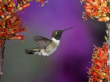 Black-Chinned Hummingbird, Arizona, USA Photographic Print by Joe & Mary Ann McDonald