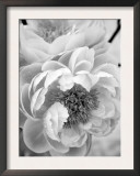 Delicate Blossom III Posters by Nicole Katano