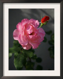 Strawberry Rose Poster by Nicole Katano