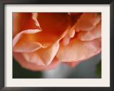 Petal Closeup I Print by Nicole Katano