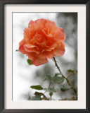 Peach Rose Posters by Nicole Katano