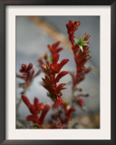 Crimson Buds Prints by Nicole Katano