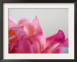 Petal Closeup IV Poster by Nicole Katano