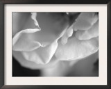 Petal Closeup I Prints by Nicole Katano