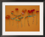 Zinnia Row on Orange Prints
