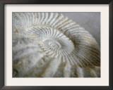 Fossil Shells II Prints by Nicole Katano