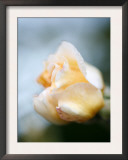 Vanilla Rose III Posters by Nicole Katano