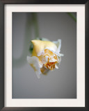 Vanilla Rose I Prints by Nicole Katano