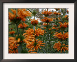 Orange Blooms Print by Nicole Katano