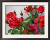 Rose Garden Poster by Nicole Katano