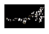 Branch of White Blossom Prints by Ian Winstanley