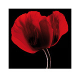 Rich Red Poppy Print by Ian Winstanley