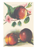 A Study of Nectarines Lmina gicle de primera calidad