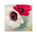 Red and White Anemones Stampe di Ian Winstanley