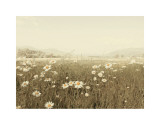 Field of Daisies Posters by Ian Winstanley