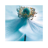 Japanese Anemone Prints by Ian Winstanley