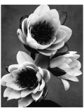 White Water Lily Premium Giclée-tryk