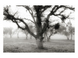 Oak Tree in the Fog Wydruk giclee premium autor Shane Settle