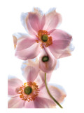 Anemone Japonica IV Premium Giclee Print by Harold Davis