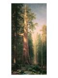 Giant Trees, Mariposa Grove, California Giclee-tryk i høj kvalitet af Albert Bierstadt