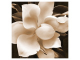Magnolia Close Up II Premium Giclee Print by Christine Zalewski