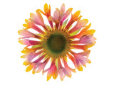 Gaillardia Premium Giclee Print by Harold Davis