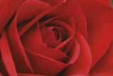 Persian Red Rose Print by John Harper