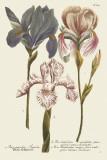 Iris Resplendant III Print by Joseph Weinmann