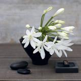 Catherine Beyler - Şefkat Çiçeği (Agapanthus) - Reprodüksiyon