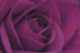Persian Purple Rose Plakater af John Harper