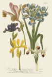 Iris Resplendant II Prints by Joseph Weinmann