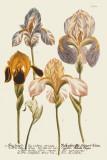 Iris Resplendant I Poster by Joseph Weinmann