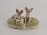 Devon Rex Photographic Print