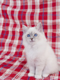 Birman Photographic Print
