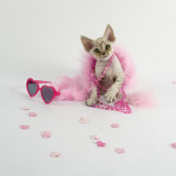 Devon Rex Prints