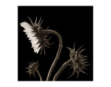 Three Sunflowers Premium Giclee Print by Dan Magus