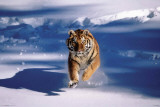 Siberian Tiger - Running In Snow Posters