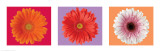 Gerbera Daisies - Three Up Prints