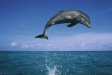 Dolphin Leaping Posters
